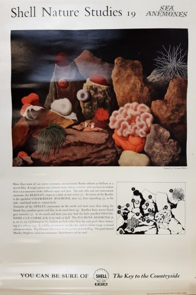 Shell Nature Anemones